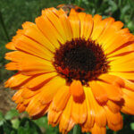 photo of calendula blossom