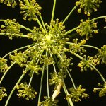 Photo of fennel blossom