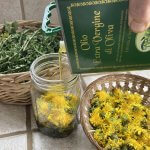 photo of Making Infused dandelion Blossom Oil